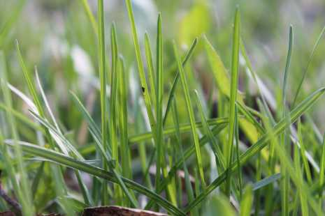 Газонная трава, газон